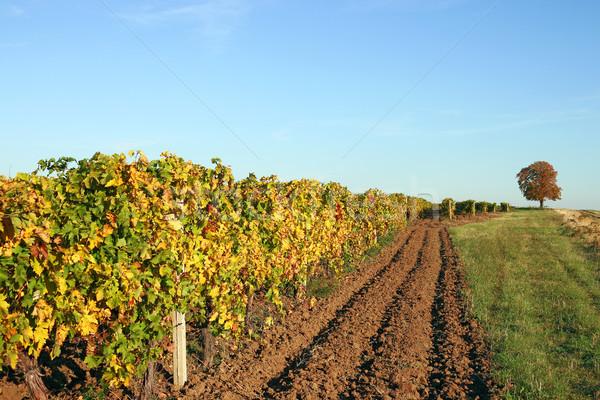 Vineyard autumn season landscape Stock photo © goce