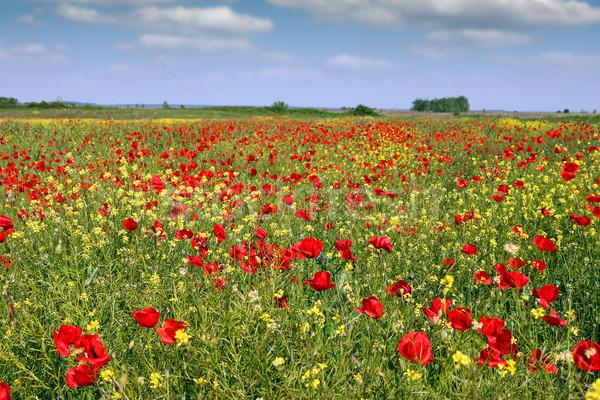 Flores silvestres campo paisaje primavera temporada cielo Foto stock © goce