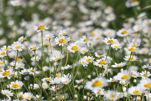 chamomile flower field spring season nature background Stock photo © goce