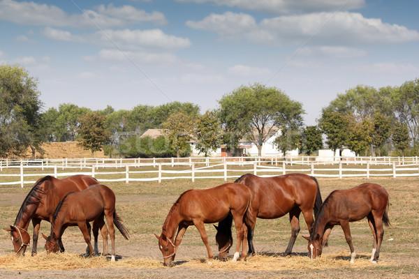 brown horses farm scene Stock photo © goce