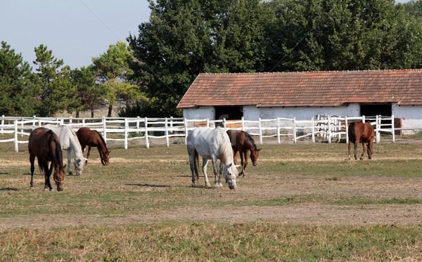 Fazenda rebanho cavalos natureza cavalo campo Foto stock © goce