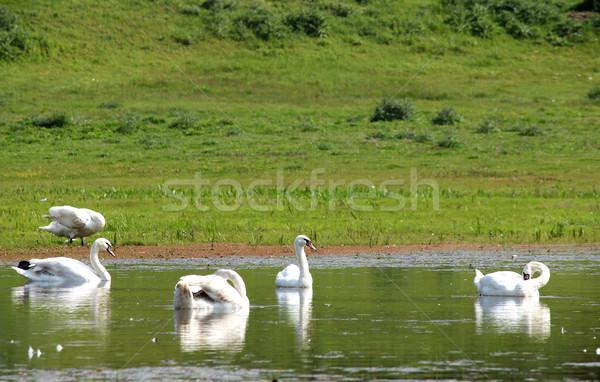 Fehér hattyú úszik folyó szépség madár Stock fotó © goce