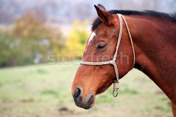 Marrón caballo retrato granja otono animales Foto stock © goce