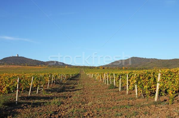 Vineyard landscape autumn season agriculture Stock photo © goce