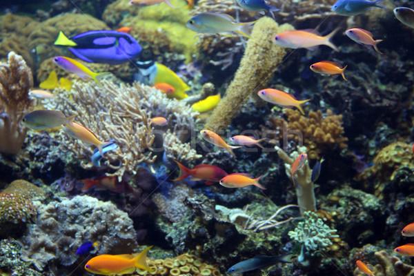 тропические рыбы плаванию коралловый риф природы океана синий Сток-фото © goce