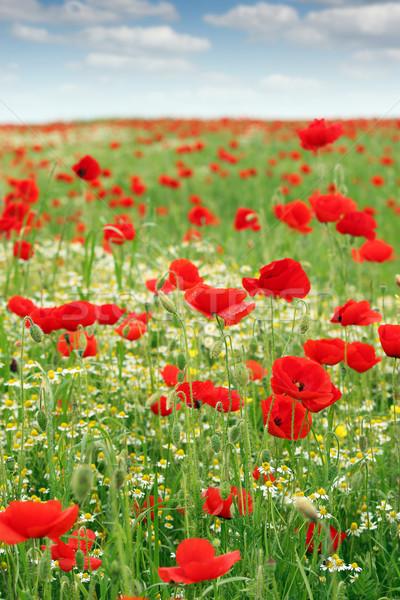 Rouge coquelicots champ de fleurs printemps ciel nature Photo stock © goce