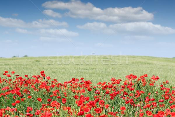 Coquelicots champ de fleurs printemps saison fleur paysage Photo stock © goce