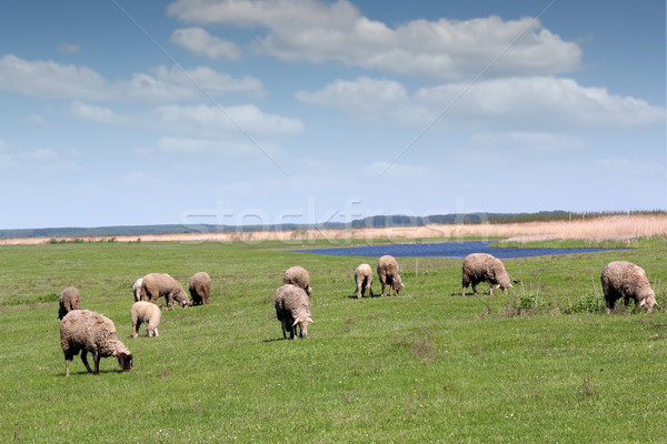 sheep on pasture Stock photo © goce