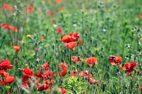 Poppies flower field spring season Stock photo © goce