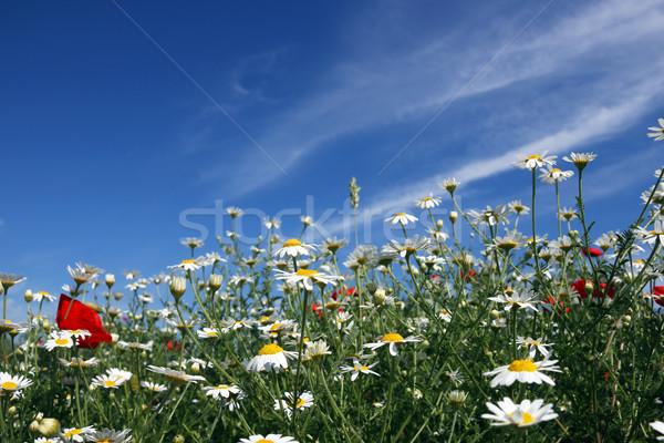 Rumianek kwiat łące wiosną sezon niebo Zdjęcia stock © goce