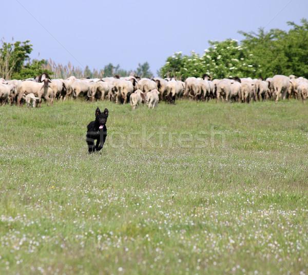 Stok fotoğraf: Mutlu · çoban · köpeği · çalışma · alan · çim · doğa