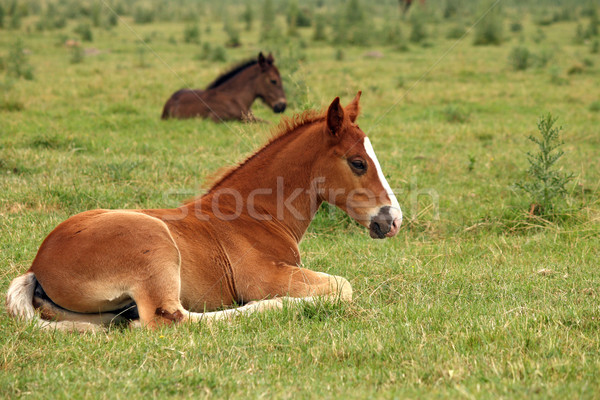 horse foals lying on field Stock photo © goce