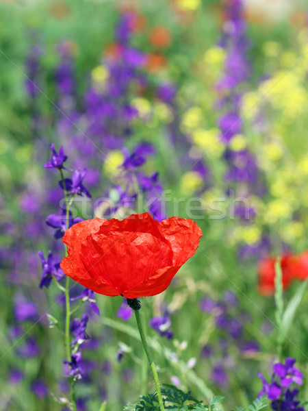 Piros pipacs vadvirág tavasz évszak virág Stock fotó © goce