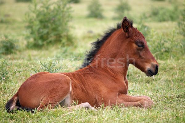 Sevimli kahverengi tay çim bebek doğa Stok fotoğraf © goce