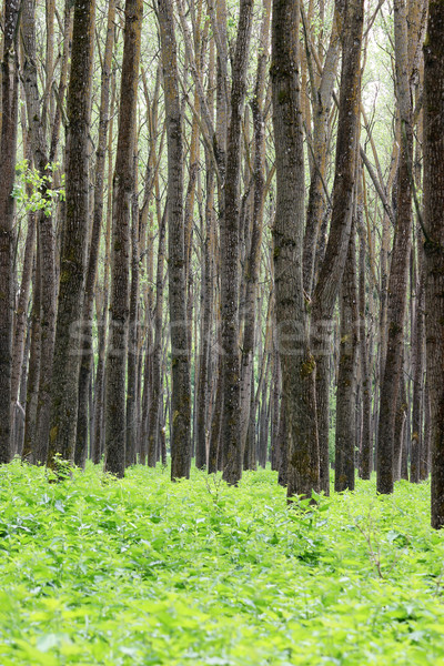 forest trees and foliage summer  Stock photo © goce