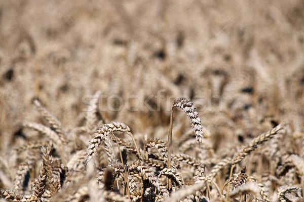 пшеницы лет сезон природы Сток-фото © goce