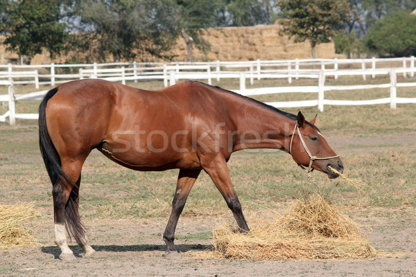 brown horse eating hay ranch scene Stock photo © goce