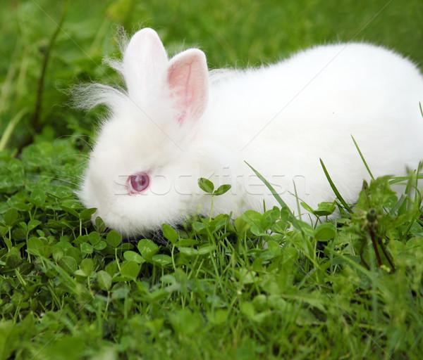 Cüce beyaz tavşan bahar sahne bebek Stok fotoğraf © goce
