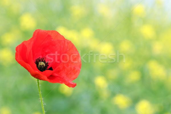 red poppy flower nature background Stock photo © goce