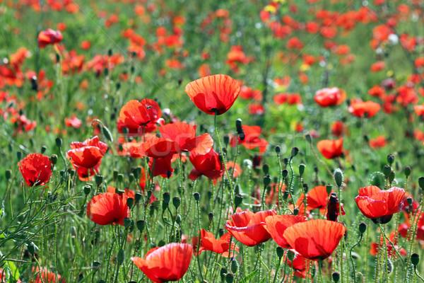 Stok fotoğraf: Haşhaş · çiçekler · alan · doğa · yaz · yeşil