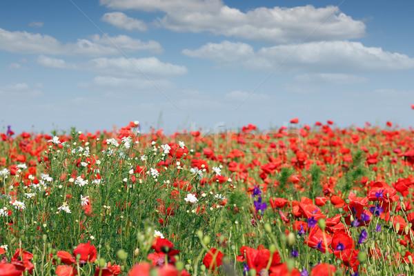 Flores silvestres pradera primavera temporada cielo naturaleza Foto stock © goce