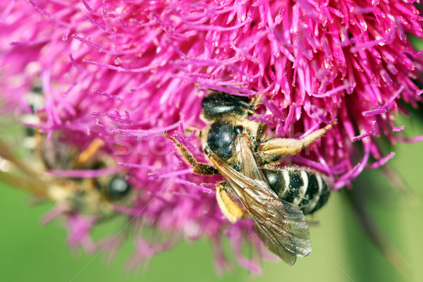 bees collects nectar on purple flower spring season Stock photo © goce