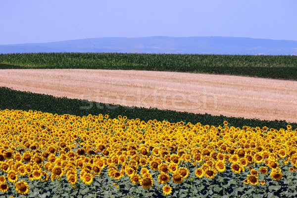 sunflower and soybean colorful fields landscape summer season Stock photo © goce