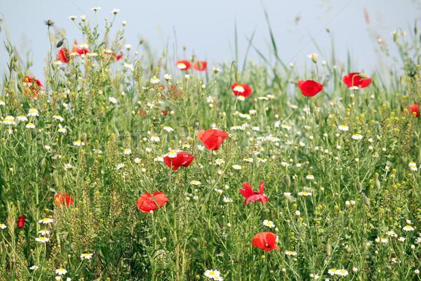Flores silvestres pradera naturaleza flor verano verde Foto stock © goce