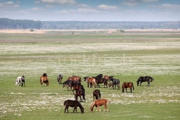 лошадей пастбище стране пейзаж весны природы Сток-фото © goce
