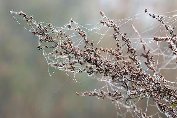 Ramo rugiada gocce spider net acqua Foto d'archivio © goce