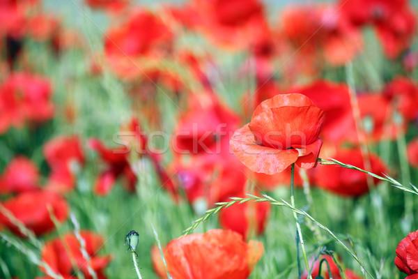 Rojo amapola flores silvestres pradera naturaleza verano Foto stock © goce