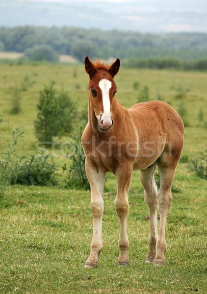 Kahverengi at tay bebek yaz Stok fotoğraf © goce