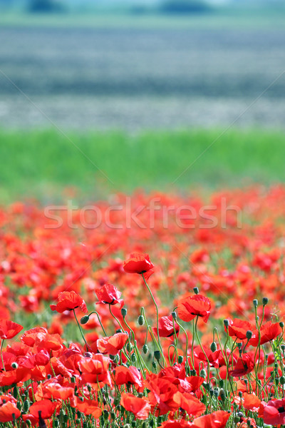 red poppies flower countryside spring season Stock photo © goce