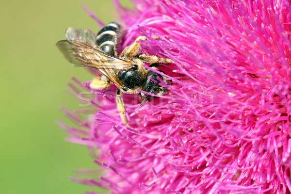 Pszczoła nektar wiosną sezon charakter Zdjęcia stock © goce