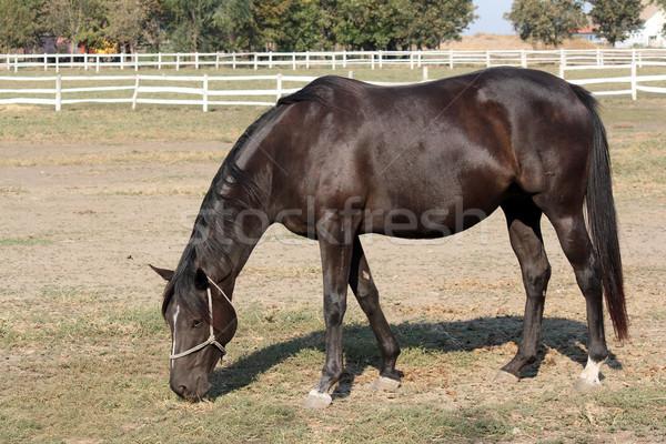 Nero cavallo ranch scena natura campo Foto d'archivio © goce