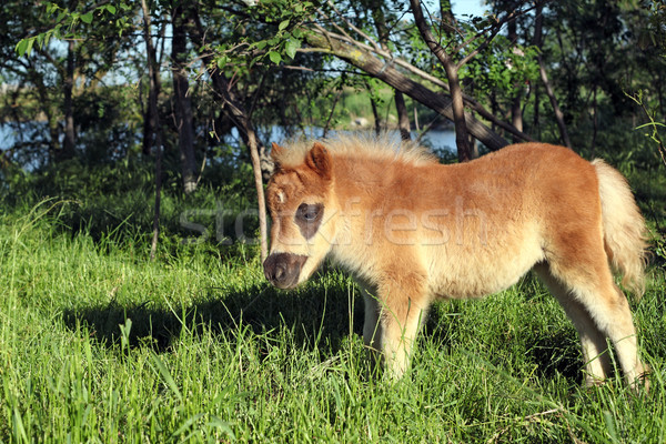 cute brown pony horse foal on pasture Stock photo © goce