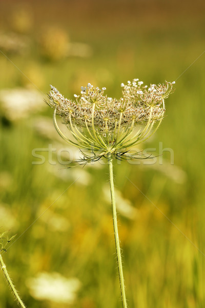 wildflower spring season nature background  Stock photo © goce