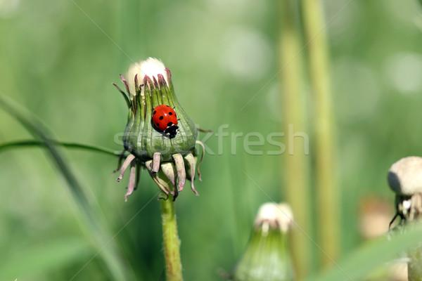 Katicabogár közelkép tavasz évszak háttér nyár Stock fotó © goce