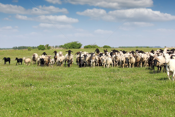 herd of sheep running on field Stock photo © goce