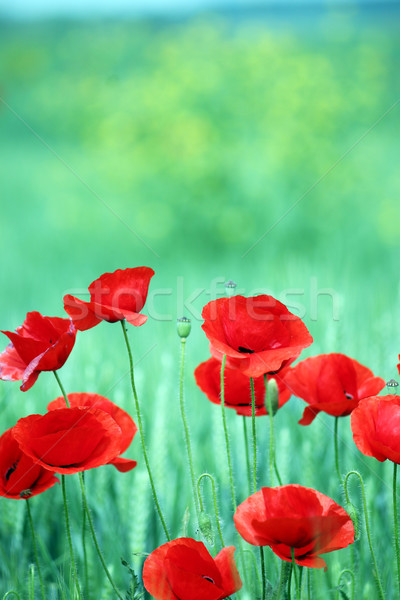Poppies flower on meadow spring season Stock photo © goce