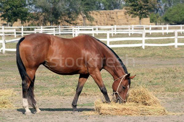 horse eating hay Stock photo © goce