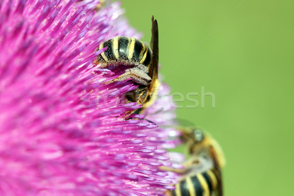 bees on flower close up spring season Stock photo © goce
