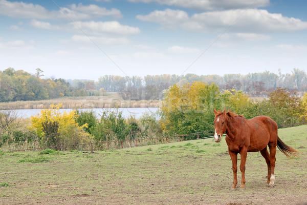 коричневый лошади пастбище дерево трава Сток-фото © goce