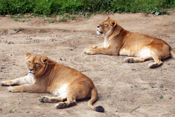 Lioness lying on the ground Stock photo © goce