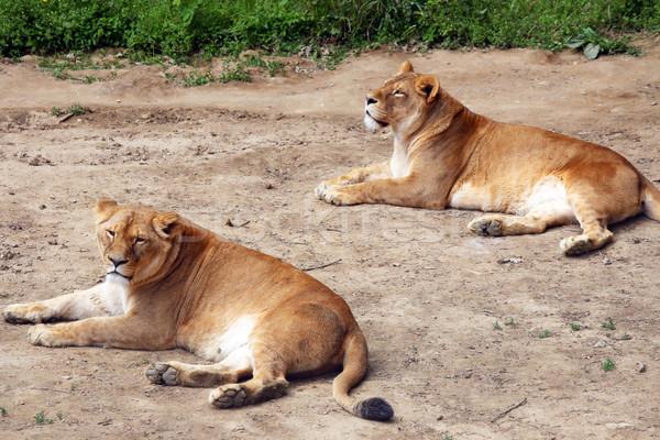 Föld Afrika oroszlán női állat veszély Stock fotó © goce
