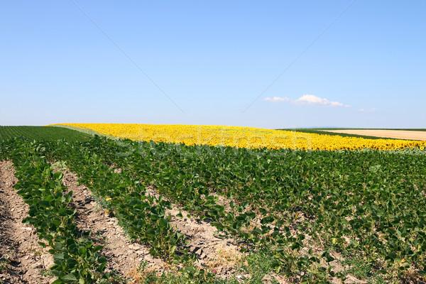 Szójabab napraforgó mező nyár évszak égbolt Stock fotó © goce