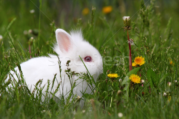 cute white dwarf bunny Stock photo © goce