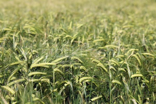 Zöld árpa mező természet háttér növény Stock fotó © goce