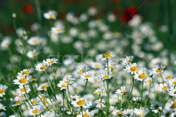 white chamomile flower spring season Stock photo © goce