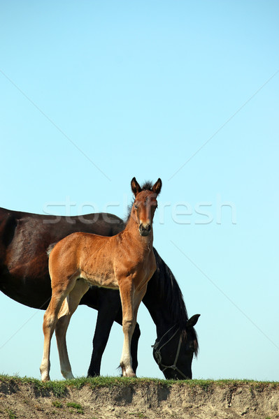 brown foal and black mare horses Stock photo © goce